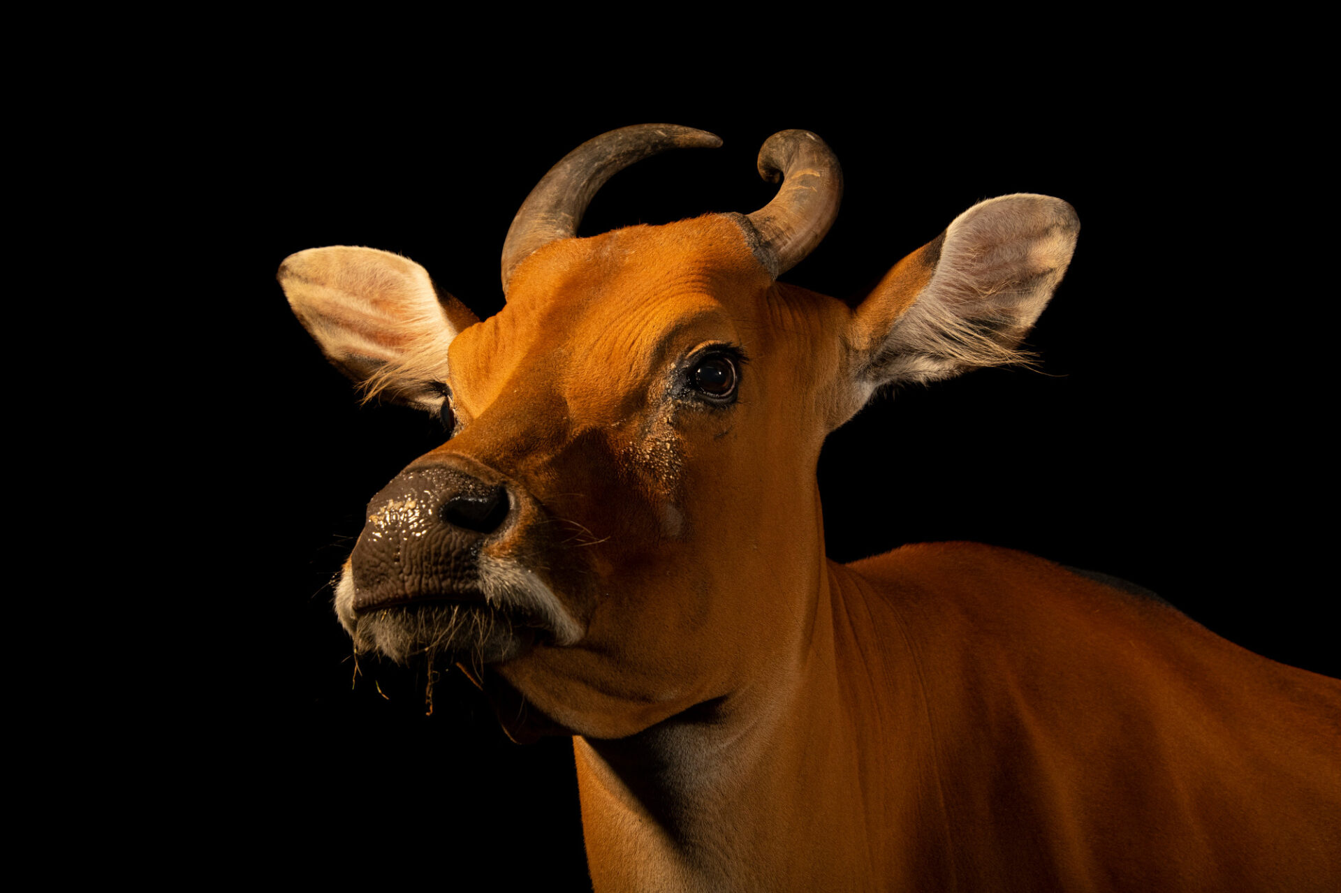 Photo: An endangered Javan banteng (Bos javanicus javanicus) at the Berlin Zoo.