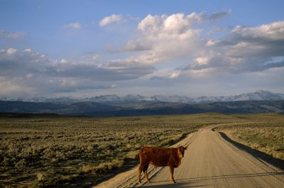 Photo: A steer on a dirt road.