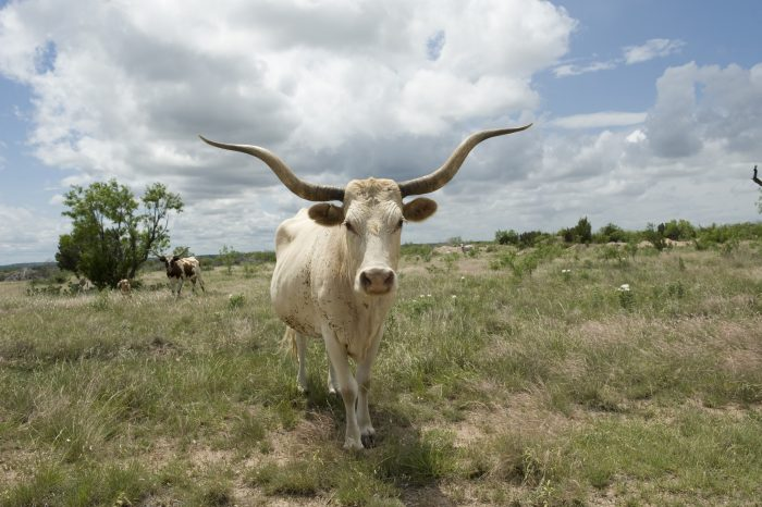 Photo: A Texas longhorn steer on a Texas ranch.