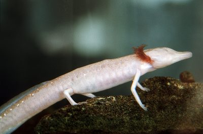 Photo: The endangered Texas blind cave salamander, Eurycea rathbuni.