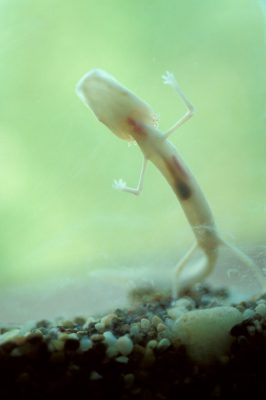 Photo: The endangered Texas blind cave salamander, Eurycea rathbuni.