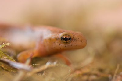 Photo: A striped newt (Notophthalmus perstriatus) from the Omaha Zoo.