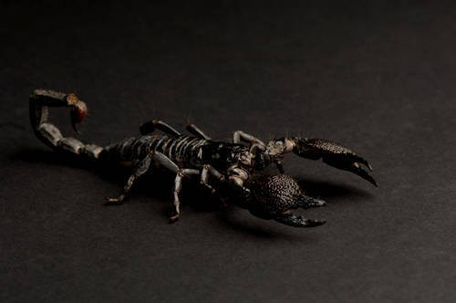 Photo: An emperor scorpion at the Sunset Zoo.
