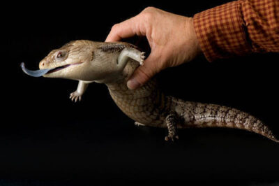 Photo: A northern blue-tongued skink (Tiliqua scincoides intermedia) at the Riverside Zoo.