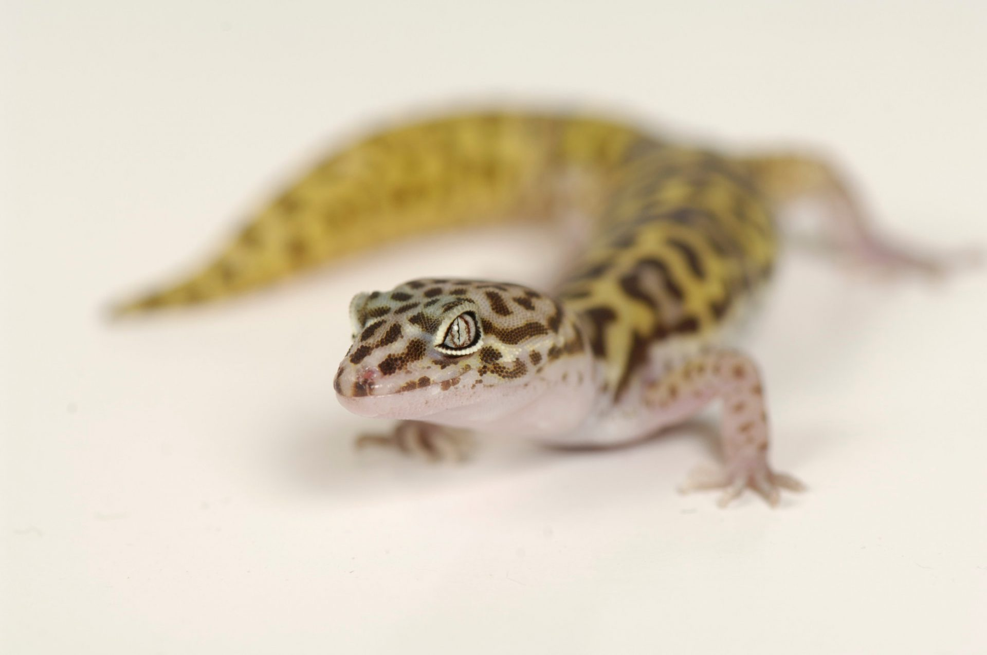 Photo: A Texas banded gecko (Coleonyx brevis) at Reptile Gardens.