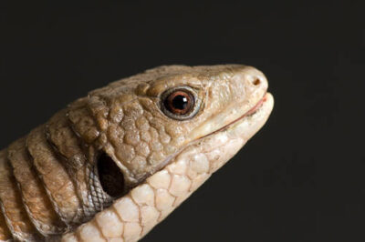 Photo: A greater plated lizard (Gerrosaurus major) at Reptile Gardens.
