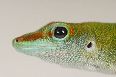 A Madagascar giant day gecko (Phelsuma madagascariensis grandis) at Reptile Gardens.