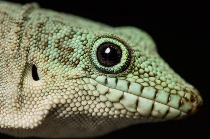 Photo: A standing day gecko (Phelsuma standingi) at Reptile Gardens.