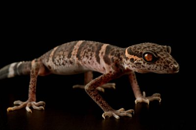 A Chinese cave gecko (Goniurosaurus luii) at Scaly Dave's Herp Shack in Manhattan, KS.