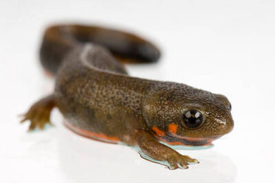 Picture of a blue-tailed fire-bellied newt (Cynops cyanurus) at the St. Louis Zoo.