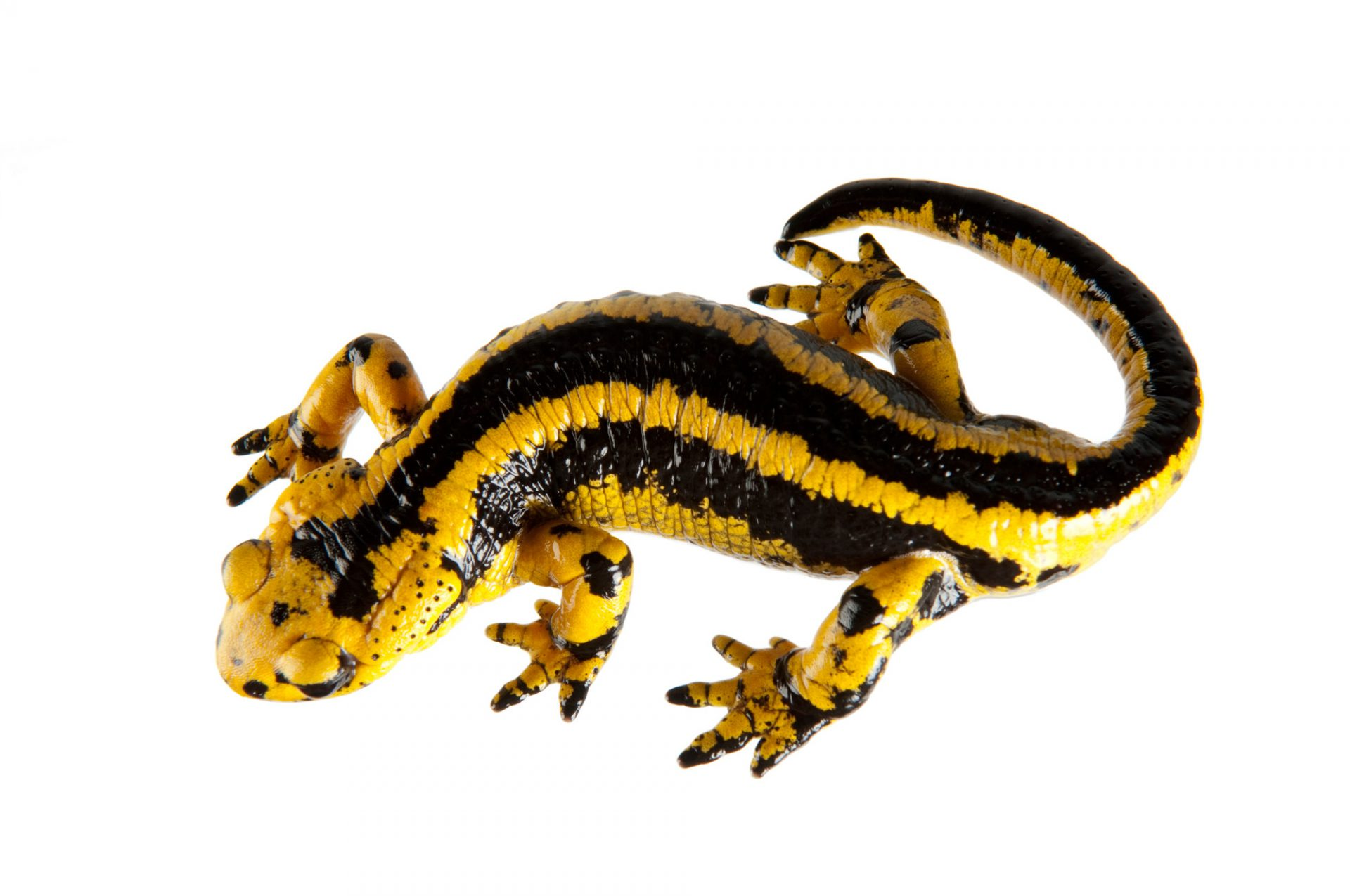 European fire salamander (Salamandra salamandra bernardezi) at the St. Louis Zoo.