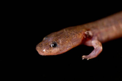 A grotto salamander (Eurycea spelaea) from the Tulsa Zoo.