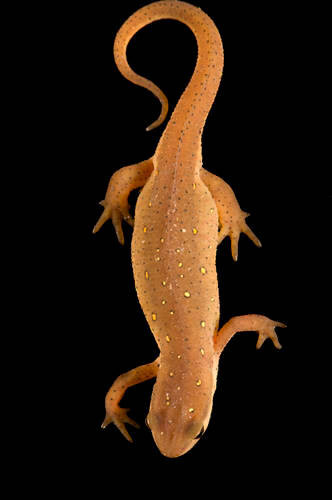 Photo: Red-spotted newt (Notophtalmus viridescens), in a juvenile or 'eft' stage, at Zoo Atlanta.