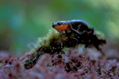 Photo: Rough-skinned newts rest on a bed of mosses and lichens in the old-growth rainforest of Clayoquot Sound, Vancouver Island (British Columbia, Canada.)