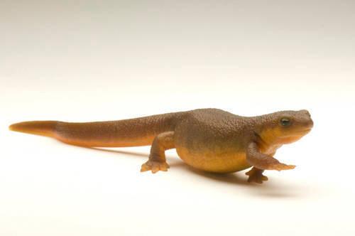 Photo: California newt (Taricha torosa) at the National Mississippi River Museum and Aquarium in Dubuque, IA.