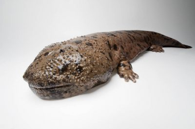 A Japanese giant salamander (Andrias japonicus) at the San Antonio Zoo. (IUCN: Near Threatened)