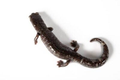 A Galeana false brook salamander (Pseudoeurycea galeanae) at the San Antonio Zoo. (IUCN: Near Threatened)