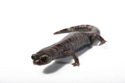 A Galeana false brook salamander (Pseudoeurycea galeanae) at the San Antonio Zoo. (IUCN: Near Threatened)