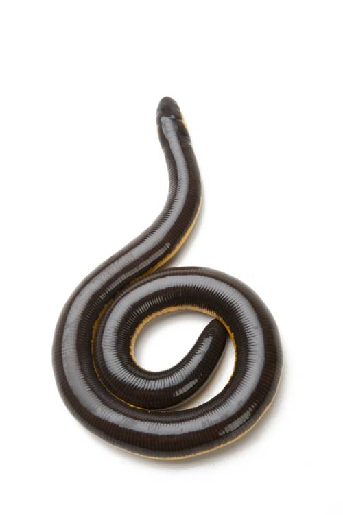 A yellow-striped caecilian (Ichthyophis kohtaoensis) at the San Antonio Zoo.