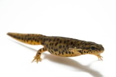A black spotted newt (Notophthalmus meridionalis) at the San Antonio Zoo. (IUCN: Endangered)