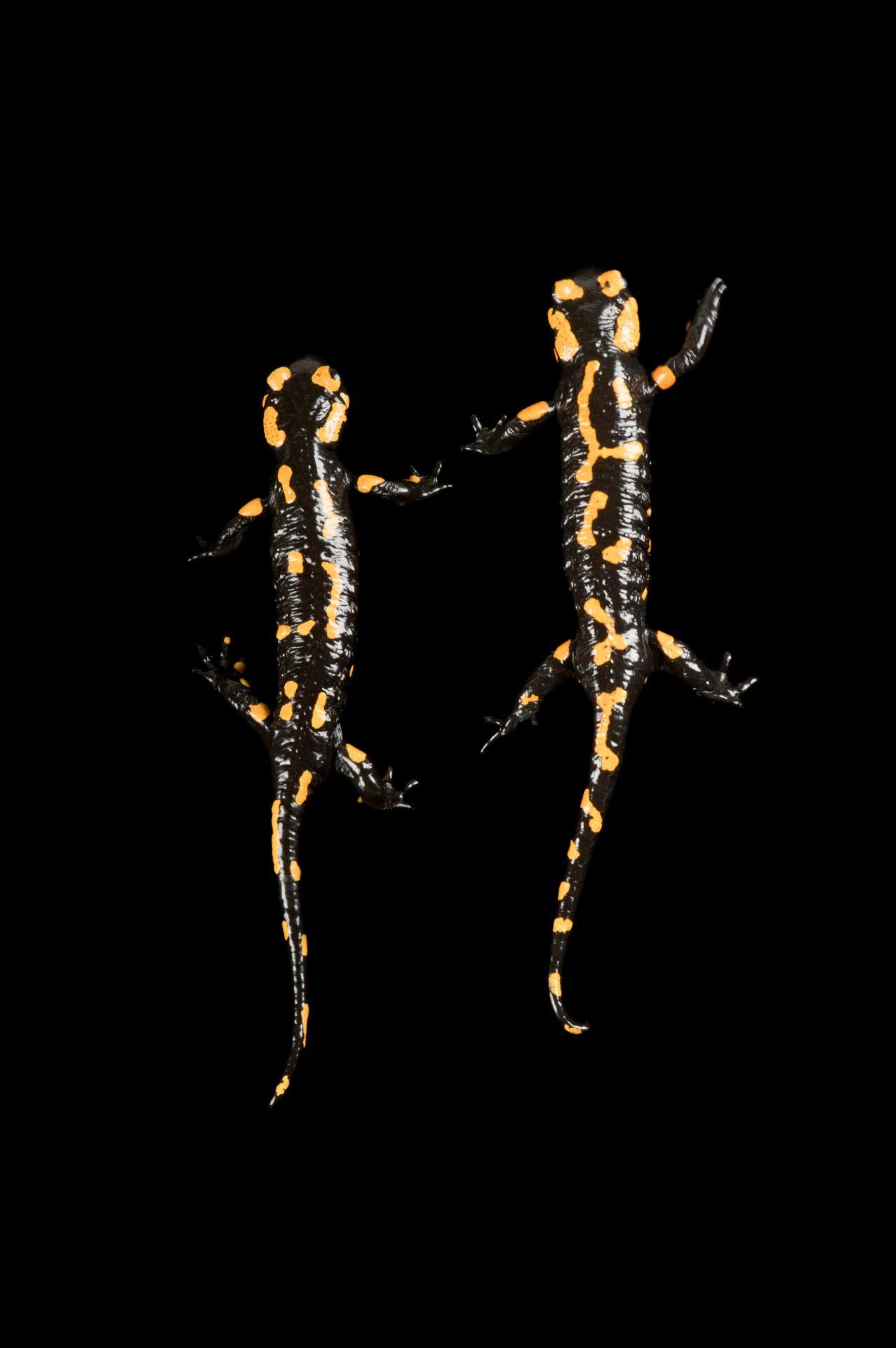 A European fire salamander, Salamandra salamandra salamandra.