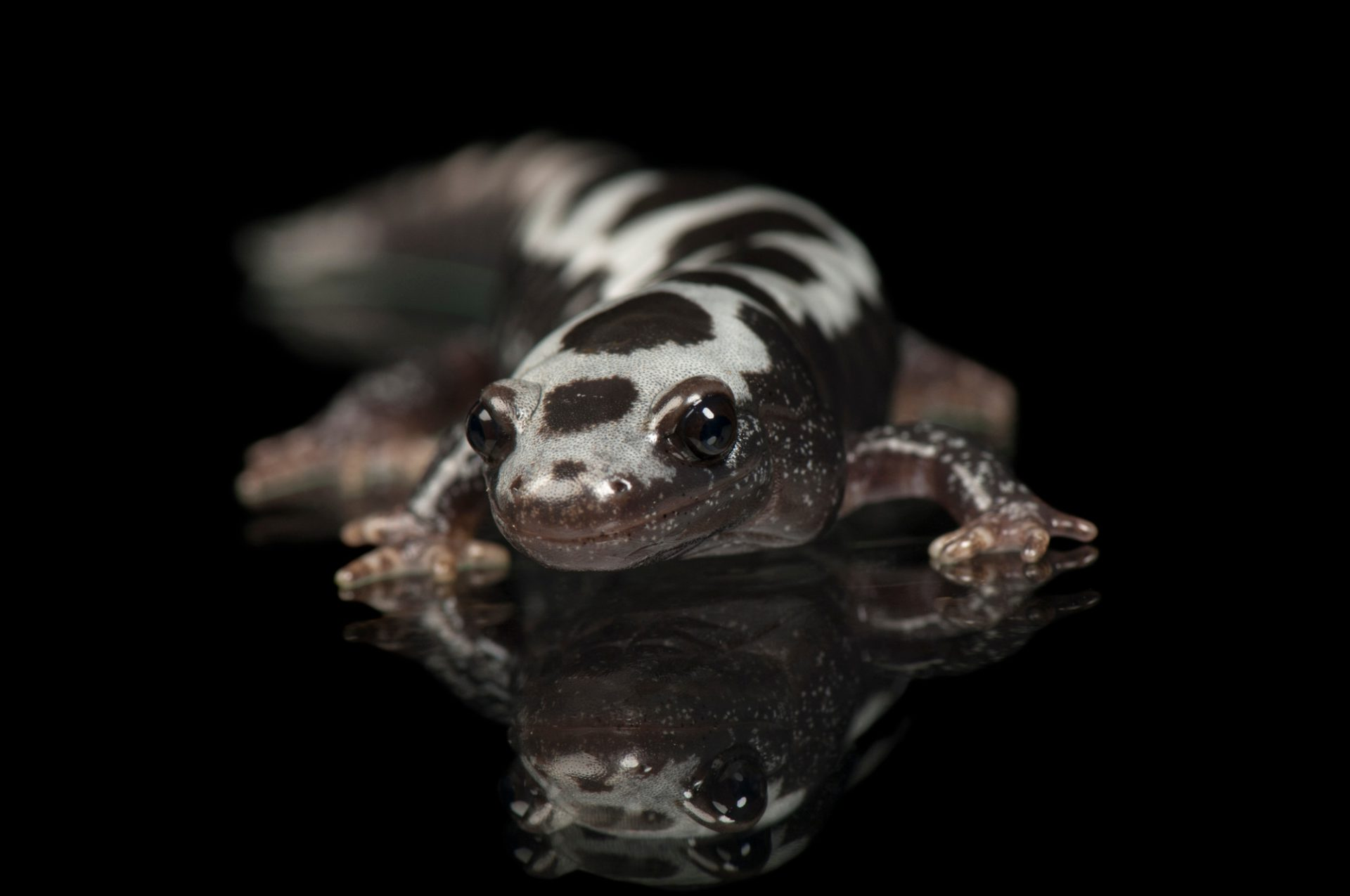 Marbled salamander (Ambystoma opacum) at the St. Louis Zoo.