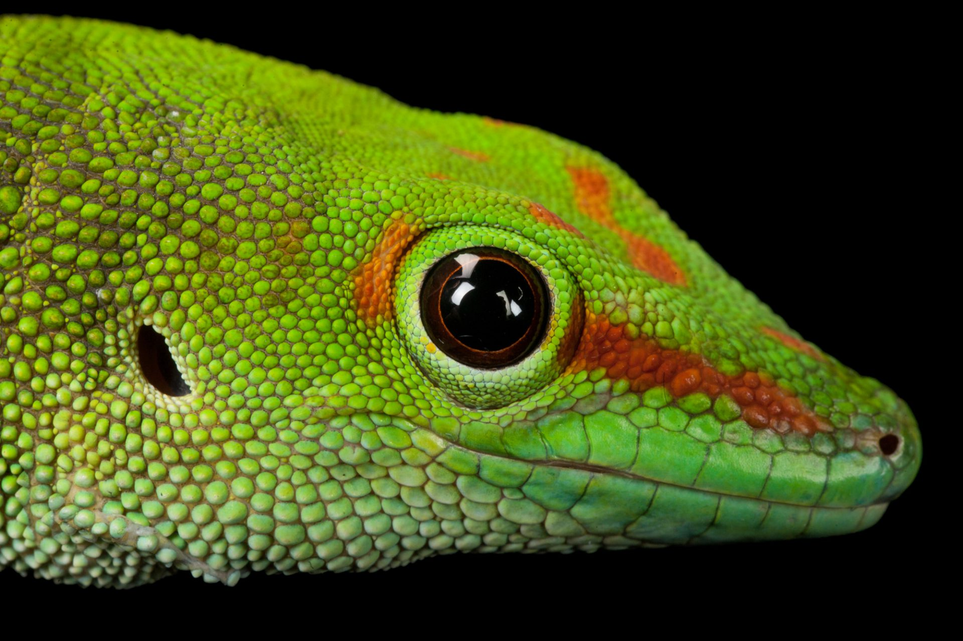 Photo: Madagascar giant day gecko (Phelsuma gradis) at the Sedgwick County Zoo in Wichita, Kansas.