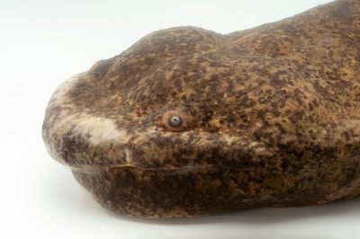 Photo: A critically endangered Chinese giant salamander (Andrias davidianus) at the Cincinnati Zoo and Botanical Garden.