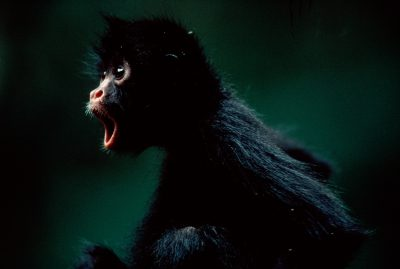 Photo: A young spider monkey, orphaned by poachers, displays panic.
