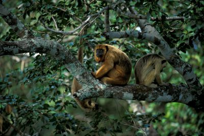 Female black howler monkeys (Alouatta caraya) in the Pantanal, Brazil.