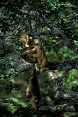 Female black howler monkeys (Alouatta caraya) hang from the trees in the Pantanal, Brazil.