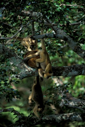 Female black howler monkeys (Alouatta caraya) hang from the trees in the Pantanal, Brazil.