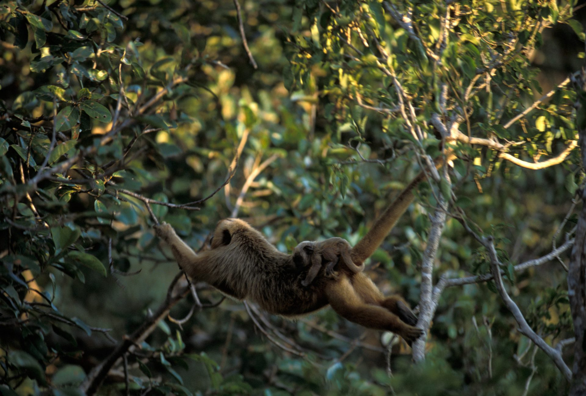 A female black howler monkey (Alouatta caraya) swings from the tree branches in the Pantanal, Brazil.