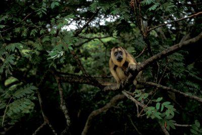 A female black howler monkey (Alouatta caraya) in the Pantanal, Brazil.