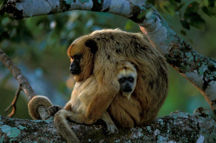 Female black howler monkeys (Alouatta caraya) in the Pantanal, Brazil.
