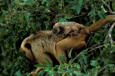 A female black howler monkey (Alouatta caraya) and her baby in the Pantanal, Brazil.