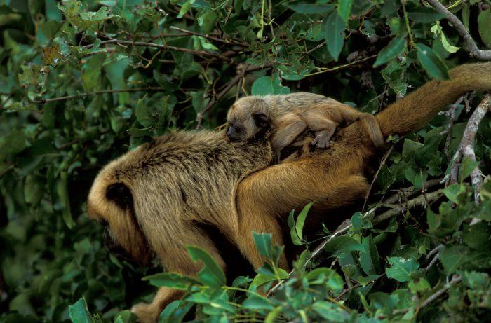 A female black howler monkey (Alouatta caraya) and her baby in the Pantanal, Brazil.