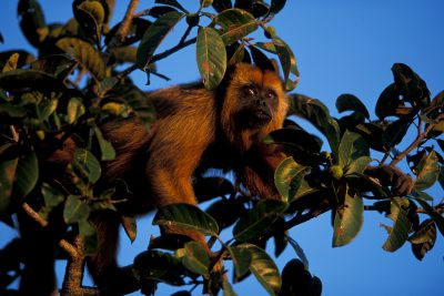 A female black howler monkey (Alouatta caraya) in the Pantanal, Brazil.