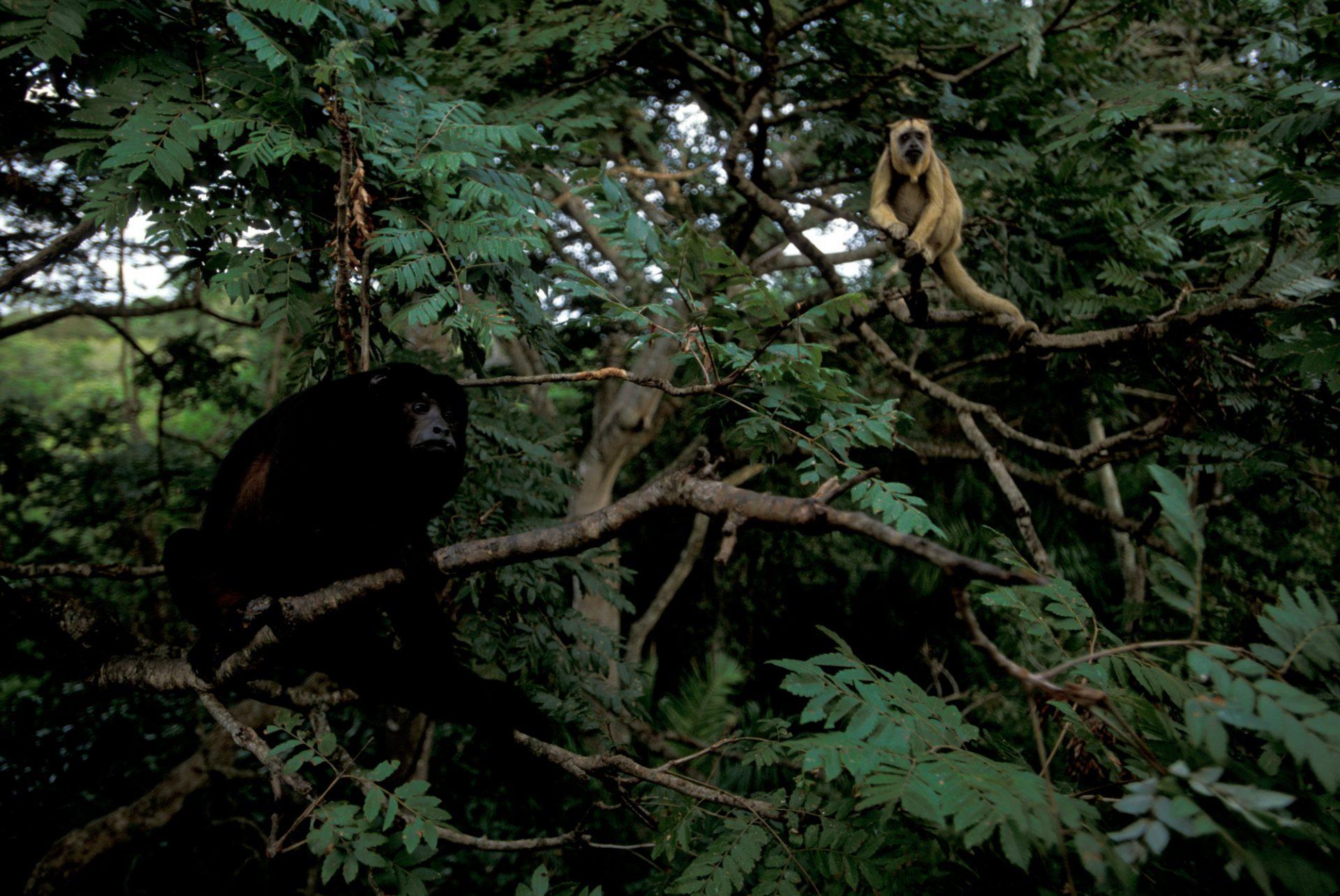 A male (black) and female (brown) black howler monkeys (Alouatta caraya) in the Pantanal, Brazil.