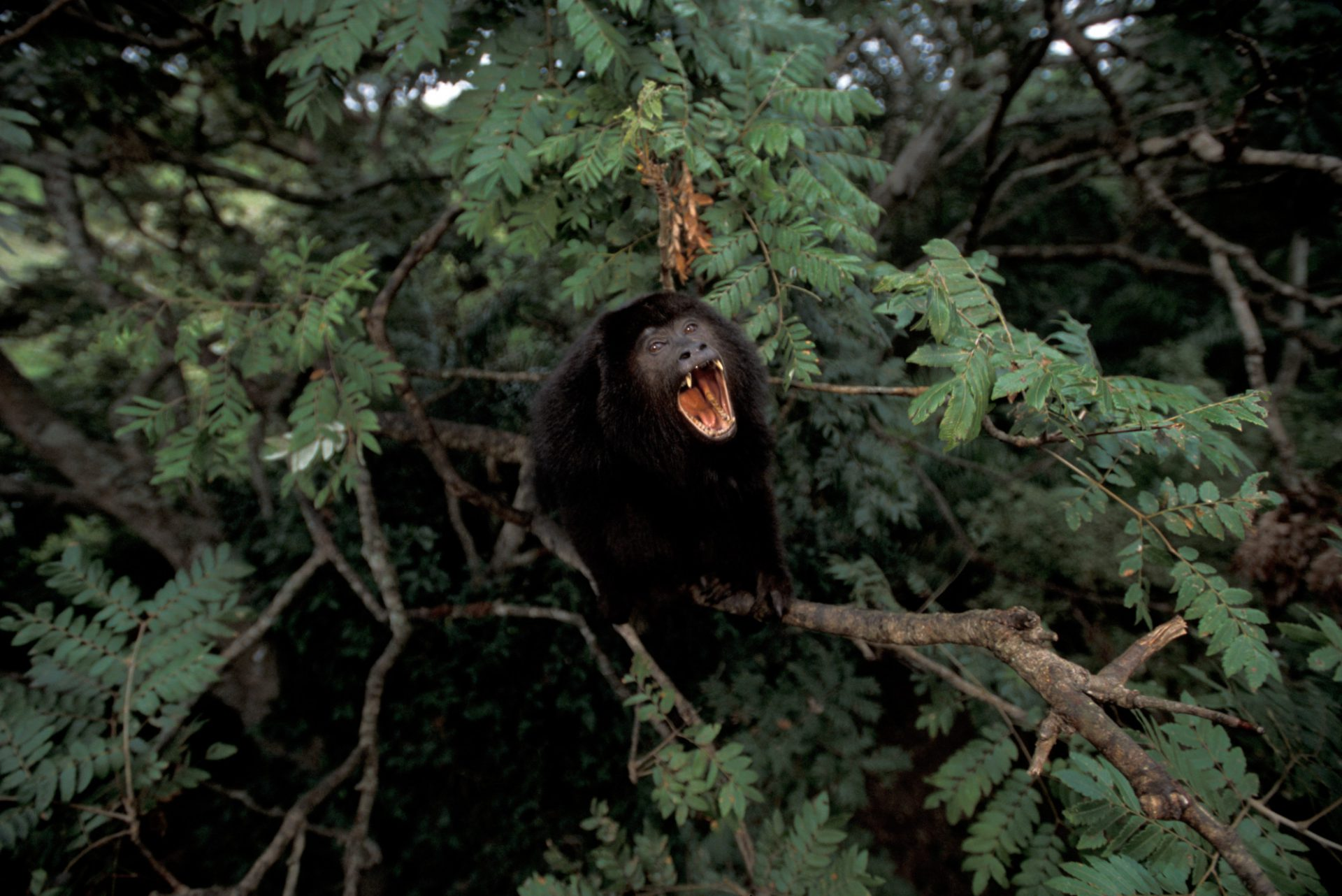 A male black howler monkey (Alouatta caraya) screams in the Pantanal, Brazil.