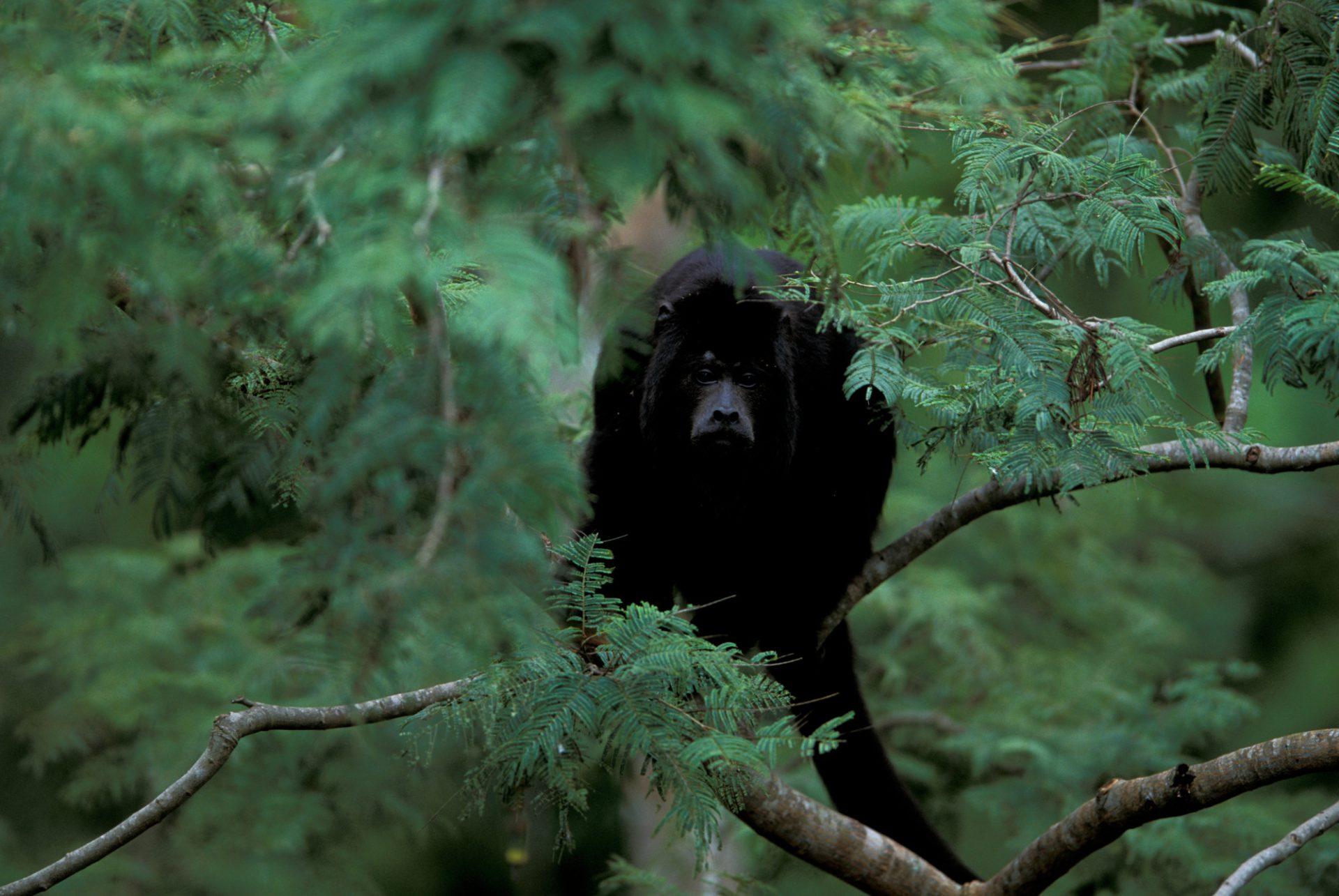 A male black howler monkey (Alouatta caraya) in the Pantanal, Brazil.