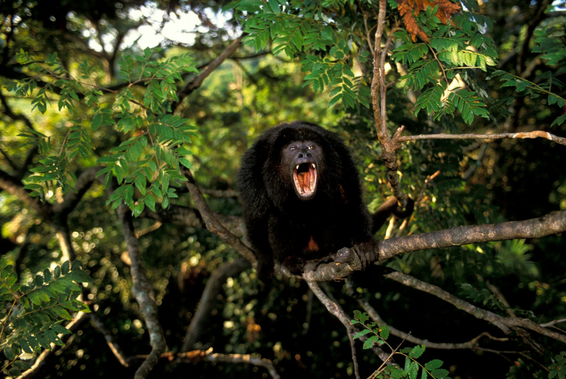 A male black howler monkey (Alouatta caraya) screams in the Pantanal, Brazil.