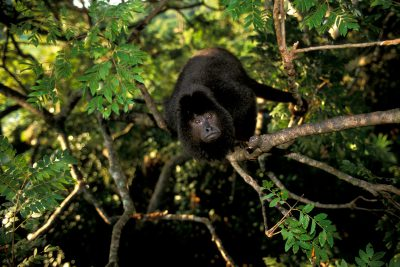 A male black howler monkey (Alouatta caraya) in the Pantanal, Brazil.