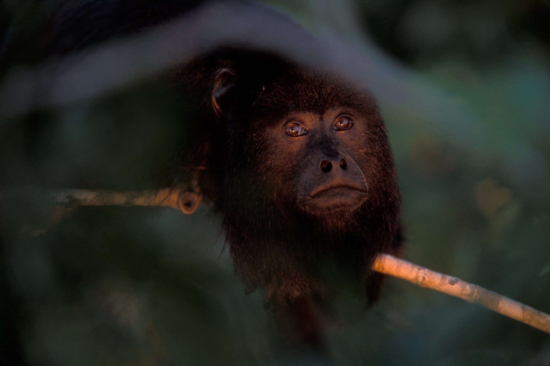 A close-up of a male black howler monkey (Alouatta caraya) in the Pantanal, Brazil.