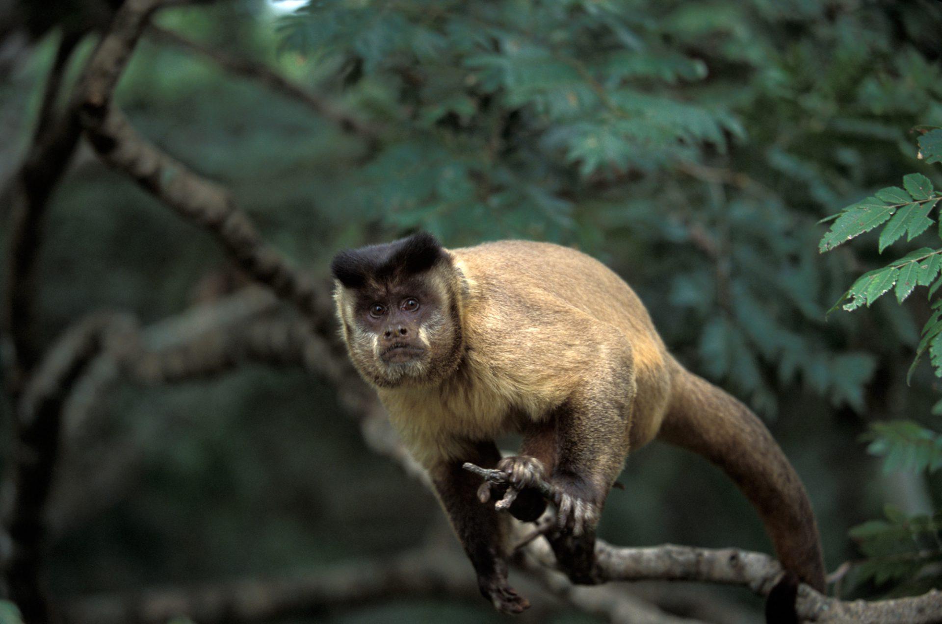 Photo: A capuchin monkey (Cebus cay) in the Pantanal, Brazil.