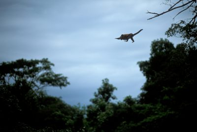 Photo: A capuchin monkey (Cebus cay) jumps from tree to tree in the Pantanal, Brazil.