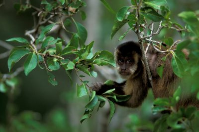 Photo: A capuchin monkey (Cebus cay) in the Pantanal, Brazil.