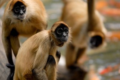 Photo: Geoffrey's spider monkeys (Ateles geoffreyi) with koi at Omaha's Henry Doorly Zoo.