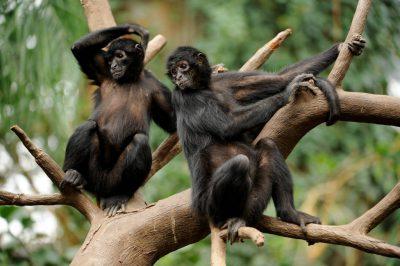 Photo: Black-headed spider monkey (Ateles fusciceps) at the Omaha Zoo.