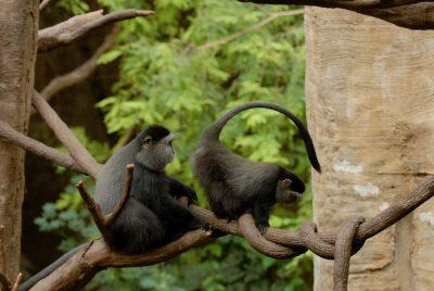 Photo: Blue monkeys from the Omaha Zoo.